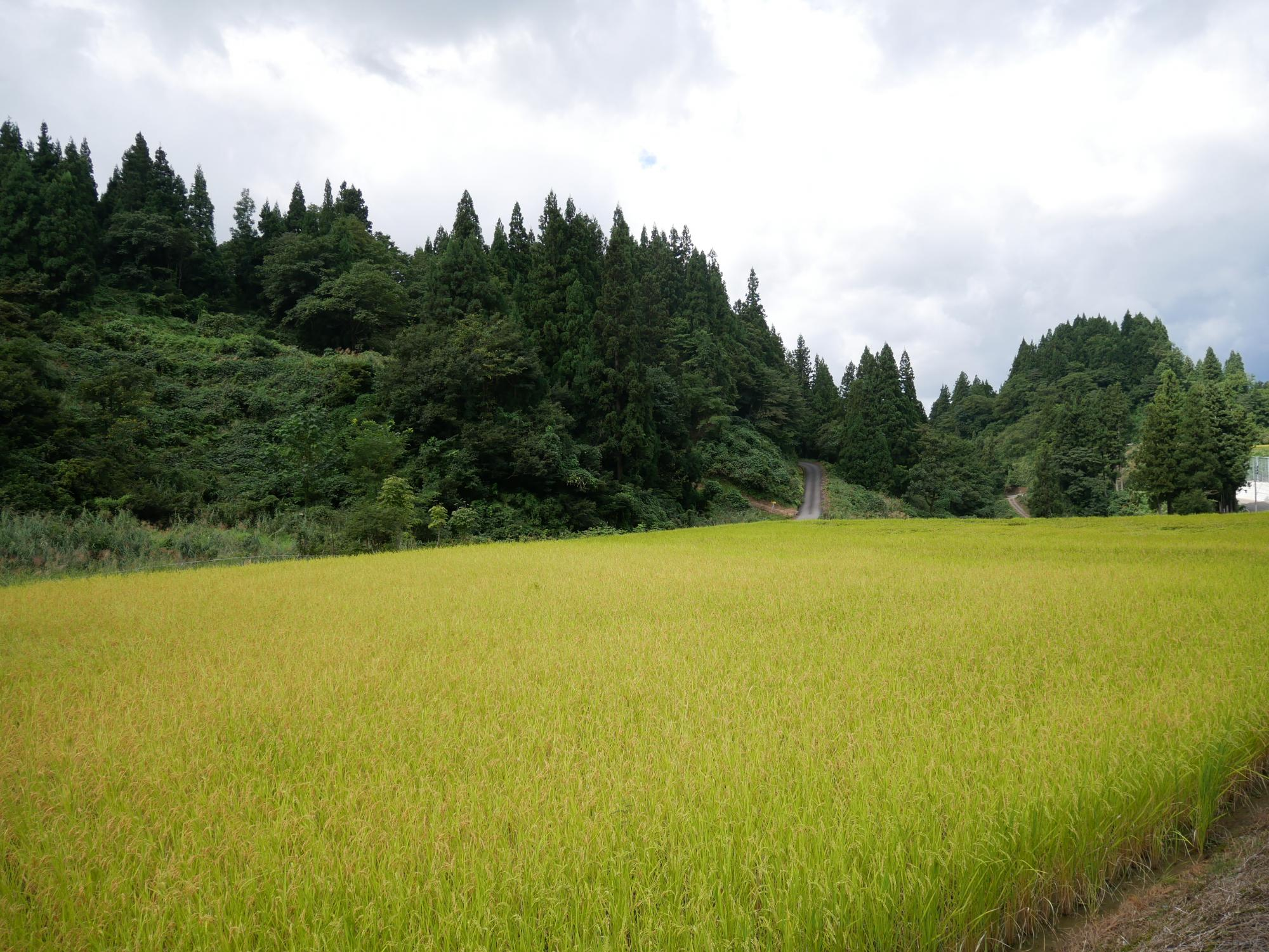 Harvesting Season for Sakamai